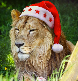 Lion in South Africa with a Christmas hat
