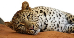 Leopard with white background