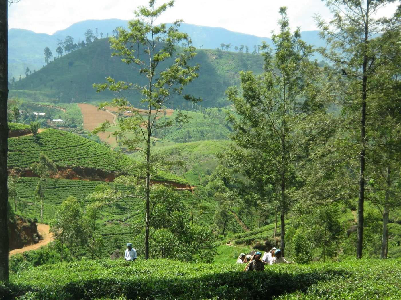 Tea Pickers, Sri Lanka