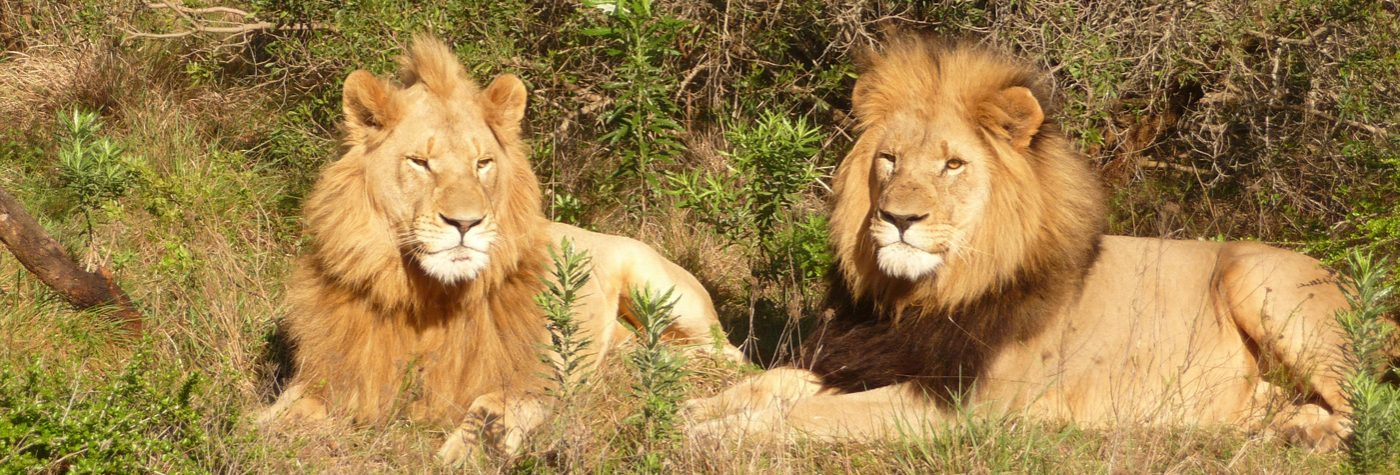 South African male Lions